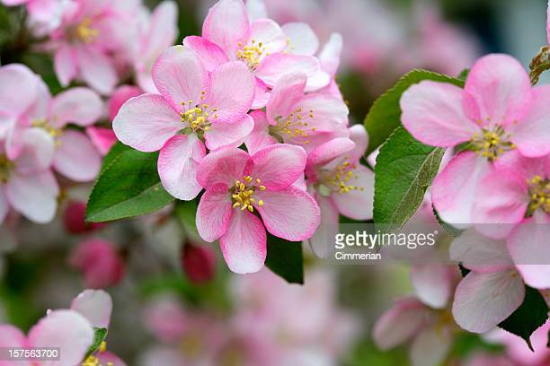 Pink apple blossoms blooming in the spring