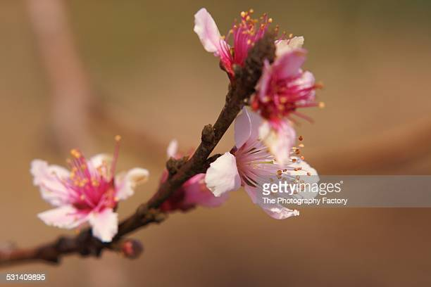 pink apple blossoms - bradenton stock pictures, royalty-free photos & images