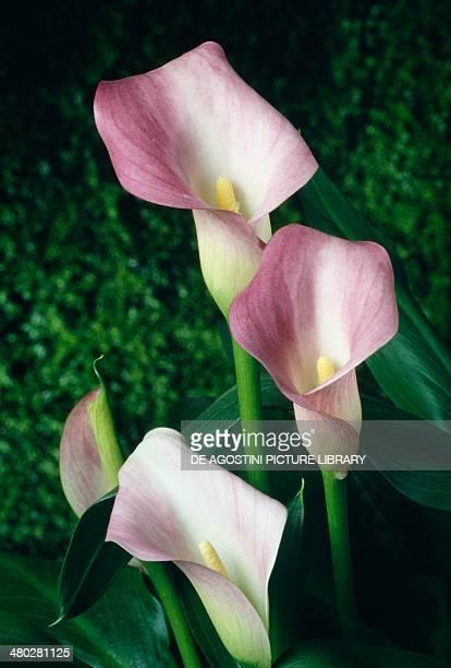 Pink arum lily Araceae