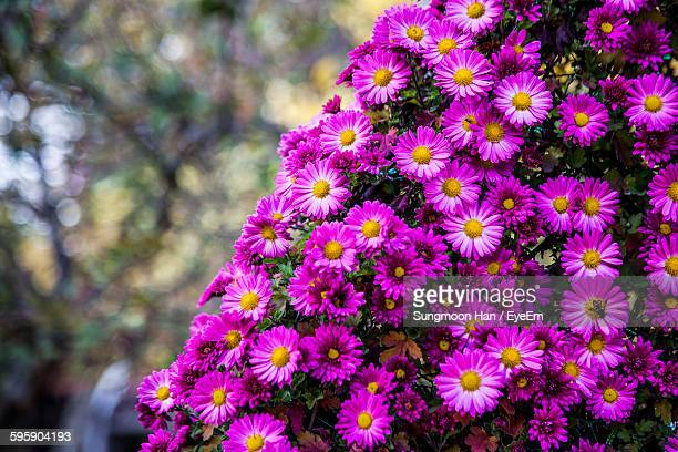 Pink Aster Flowers Blooming In Park