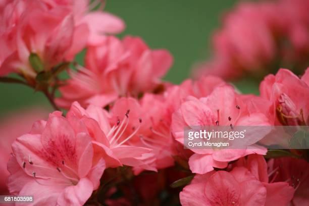 pink azalea blossoms - azalea stock pictures, royalty-free photos & images