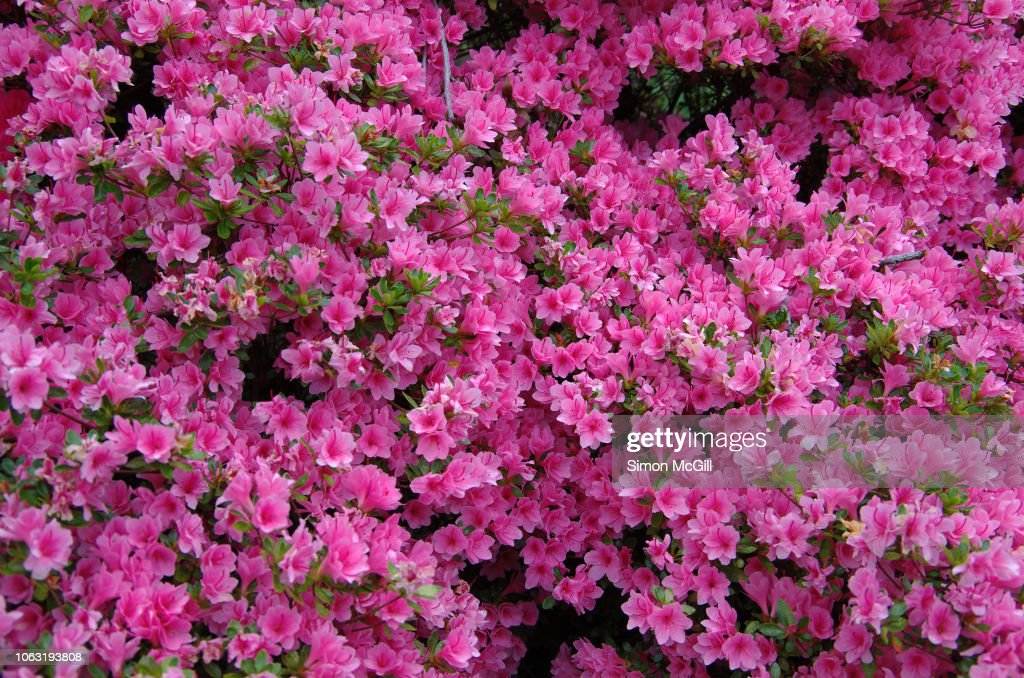 Pink azalea bushes in bloom during springtime : Stock Photo
