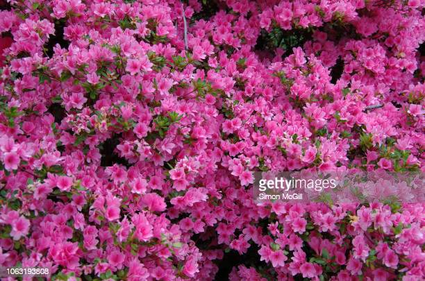 Pink azalea bushes in bloom during springtime