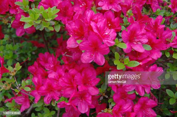pink azalea bushes in bloom during springtime - azalea stock pictures, royalty-free photos & images