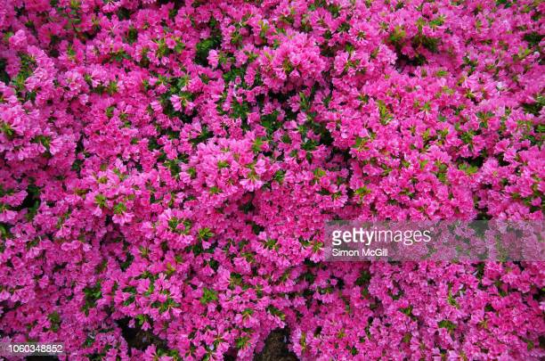 pink azalea bushes in prolific bloom - azalea stock pictures, royalty-free photos & images