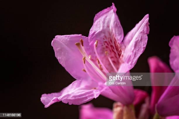 pink azalea - cris cantón photography fotografías e imágenes de stock