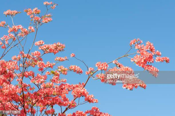 pink azalea - azalea stock pictures, royalty-free photos & images