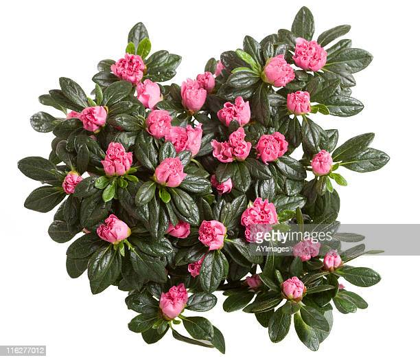 pink azalea - bush stock pictures, royalty-free photos & images
