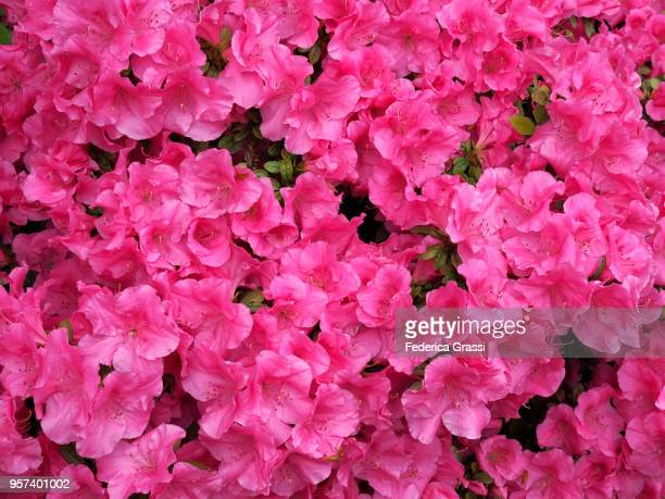 pink azaleas flowering on lake maggiore, north italy - may stock pictures, royalty-free photos & images