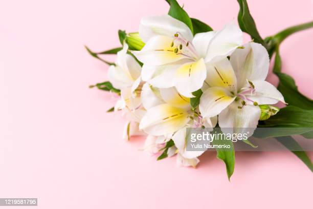 pink background with white fresh flowers. flowers of alstroemeria, background for a greeting card, banner or blog. - alstroemeria stock pictures, royalty-free photos & images