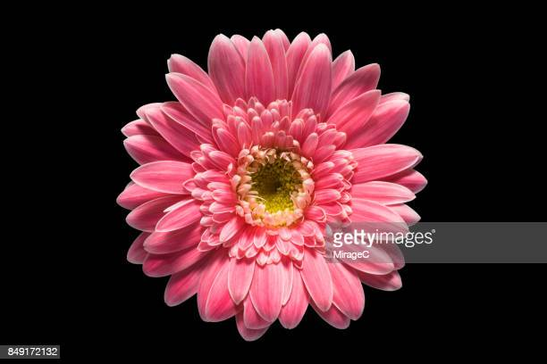 pink barberton daisy flower on black background - gerbera daisy stock pictures, royalty-free photos & images