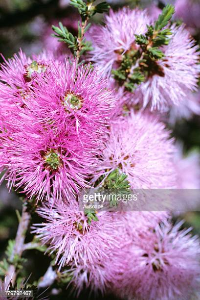 Pink beaufortia Beaufortia schaueri flower clusters Western Australia
