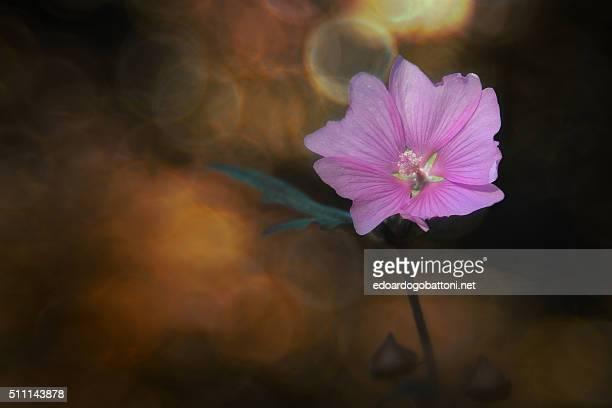 pink beauty - edoardogobattoni - fotografias e filmes do acervo