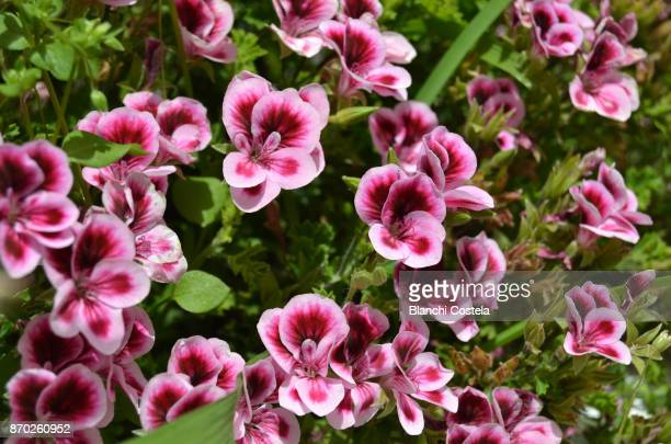 pink begonia in bloom - begonia stock pictures, royalty-free photos & images