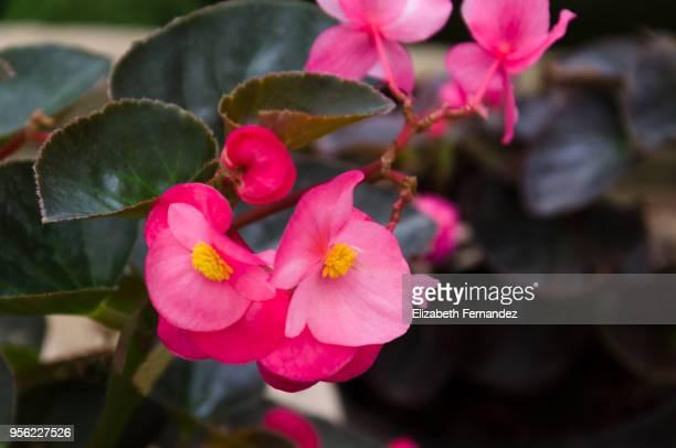 pink begonia - begonia stock pictures, royalty-free photos & images