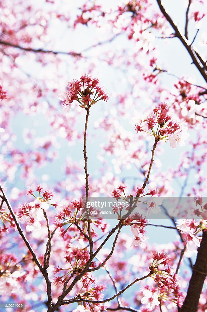 Pink Blossom on a Tree, Tokyo, Japan : Stock Photo