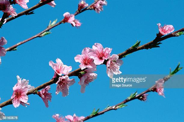 pink blossom on tree - peach blossom stock pictures, royalty-free photos & images