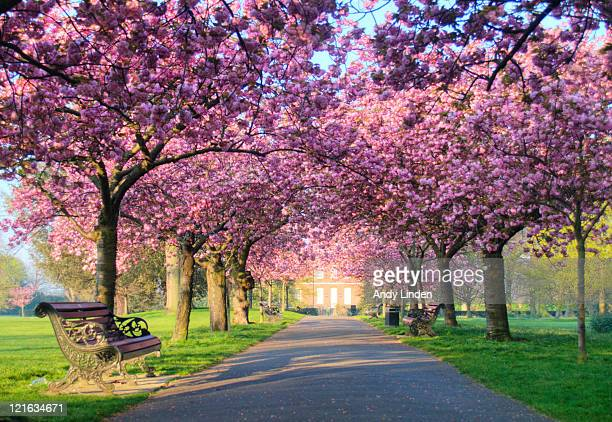 pink blossom on trees in greenwich park - blossom stock pictures, royalty-free photos & images