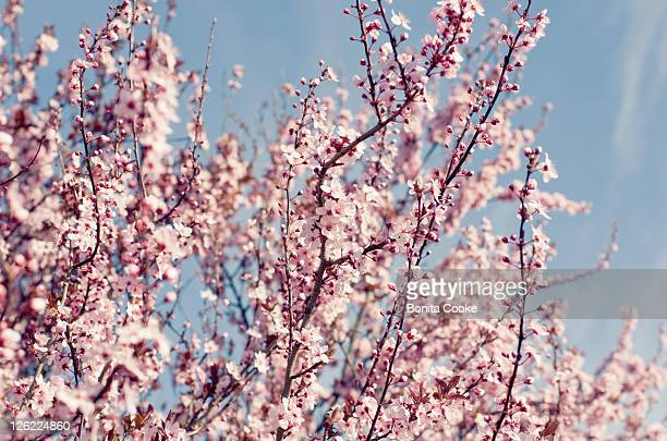 pink blossom - canterbury region new zealand stock pictures, royalty-free photos & images