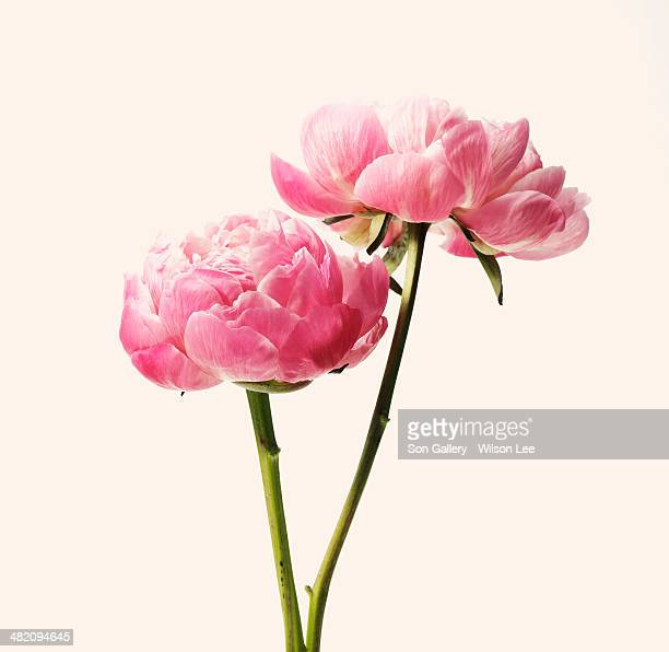 pink blossom - pink flowers stock pictures, royalty-free photos & images