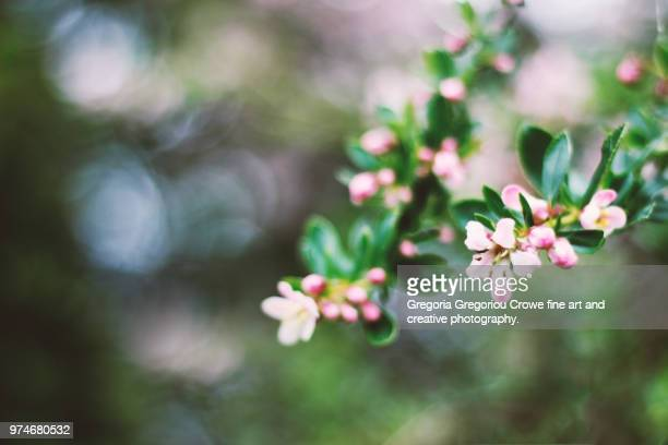 pink blossom - gregoria gregoriou crowe fine art and creative photography stock photos and pictures