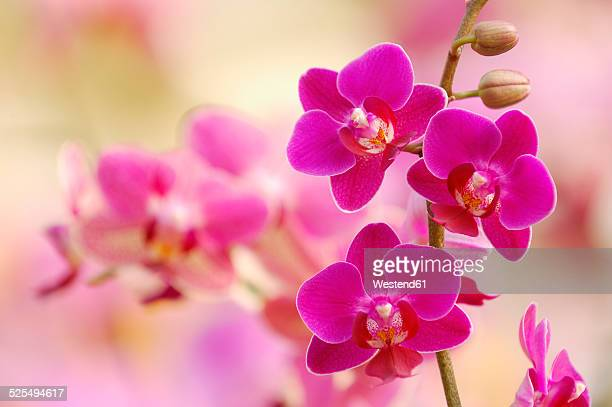 pink blossoms of orchid, phalaenopsis, close-up - orchid flower stock pictures, royalty-free photos & images