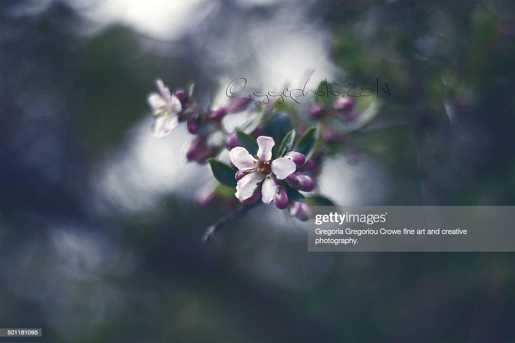 Pink blossoms : Stock Photo