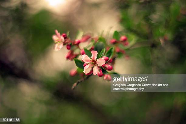 pink blossoms - gregoria gregoriou crowe fine art and creative photography. stock photos and pictures