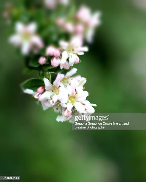 pink blossoms - gregoria gregoriou crowe fine art and creative photography. stock pictures, royalty-free photos & images