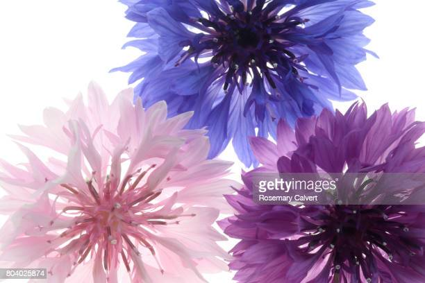 Pink, blue and purple cornflowers filling frame.