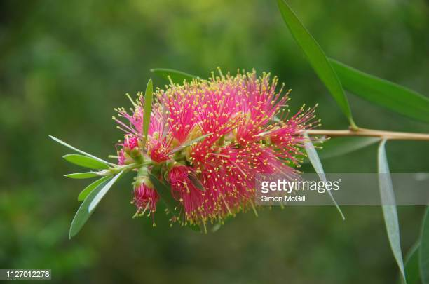pink bottle brush (callistemon) flower in bloom - australian capital territory stock pictures, royalty-free photos & images