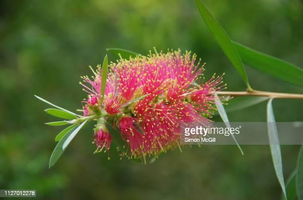 Pink bottle brush (Callistemon) flower in bloom