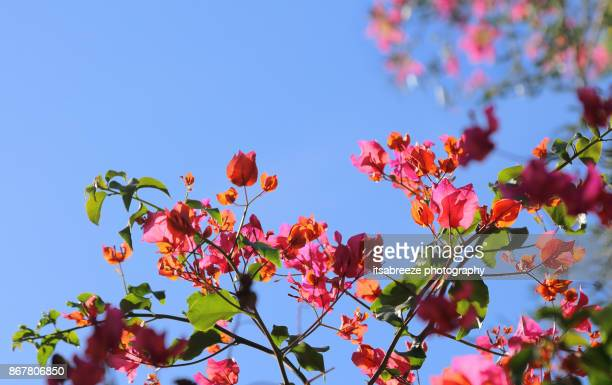 pink bougainvillea against a clear blue sky - bougainville stock photos and pictures