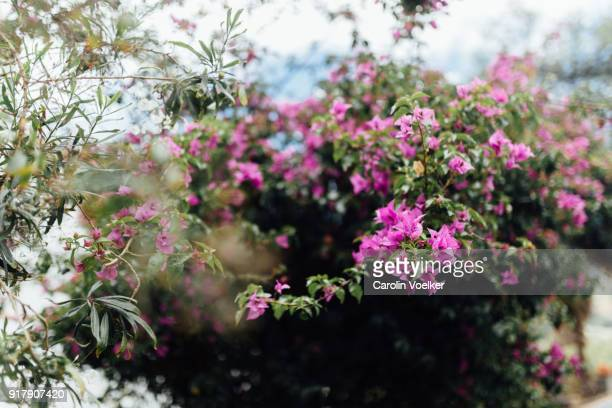 Pink Bougainvillea from below, Canary Island, Spain