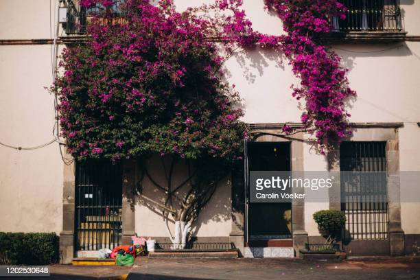 pink bougainvillea growing in abundance on a facade of a colonial townhouse in the historic center of queretaro, mexico - bocciolo foto e immagini stock