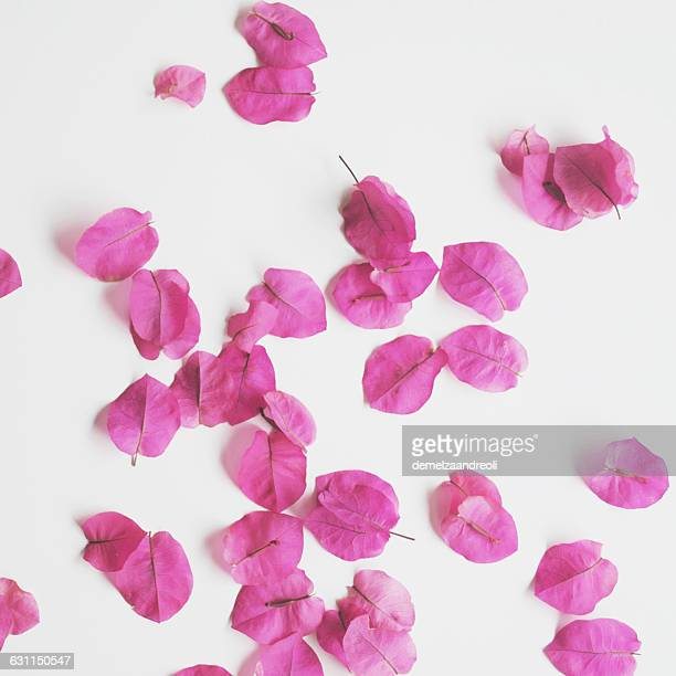 Pink Bougainvillea petals on white background
