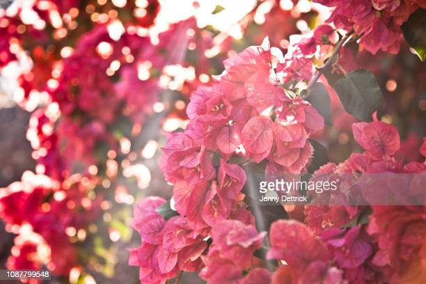 pink bougainvillea - bougainville stock photos and pictures