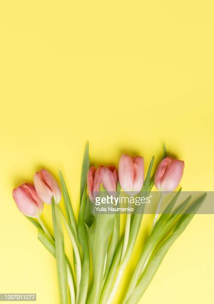 pink bouquet tulips on a colored plain background with copy space. festive easter springtime decor. flat lay. - march month stock pictures, royalty-free photos & images