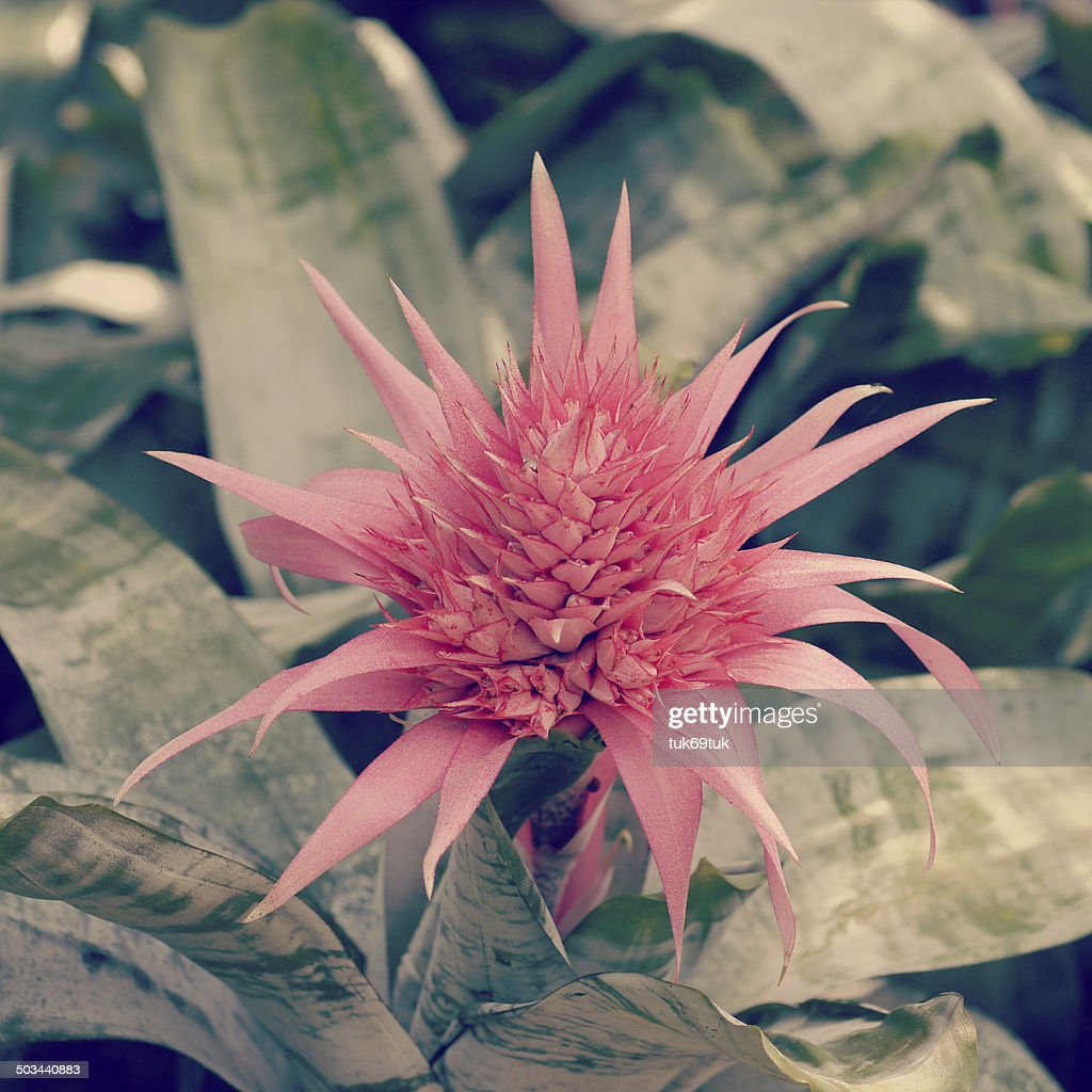 Pink Bromeliad Flower Old Retro Vintage Style Stock Photo Getty Images