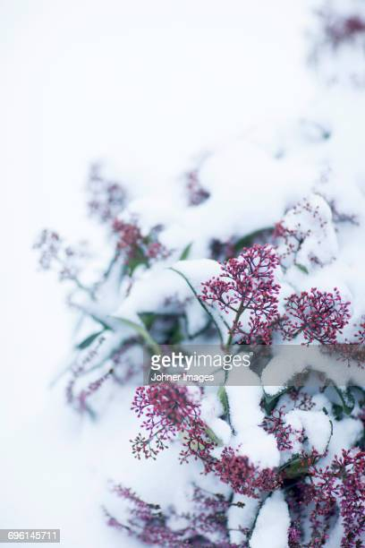 Pink buds covered by snow