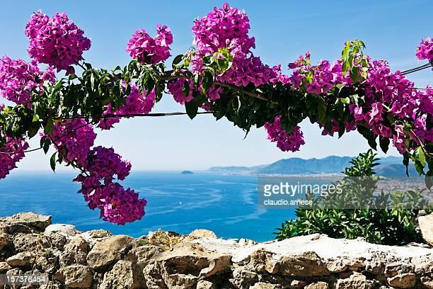 rosa buganvilias fiori. immagine a colori - liguria foto e immagini stock
