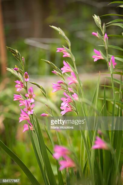 pink byzantine gladiolus flowers - gladiolus stock pictures, royalty-free photos & images