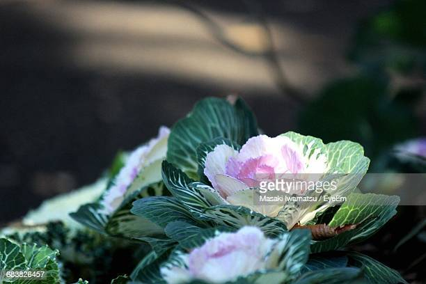 Pink Cabbage Flowers Blooming Outdoors