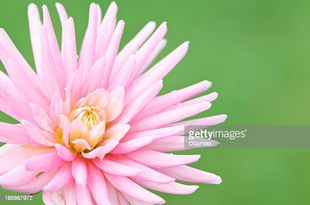 pink cactus dahlia - ogphoto stock pictures, royalty-free photos & images
