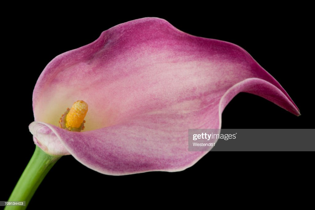pink calla in front of black background ストックフォト getty images