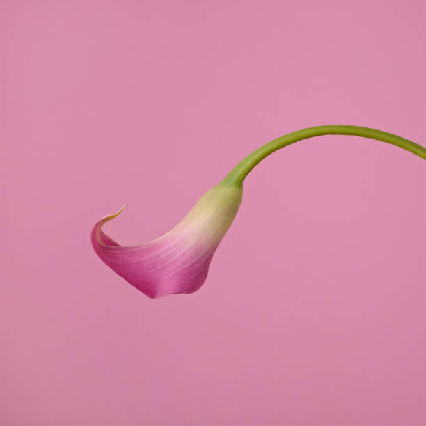 Pink Calla Lily on Pink