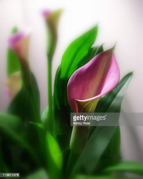 pink calla lily trio - bedford nova scotia stock pictures, royalty-free photos & images