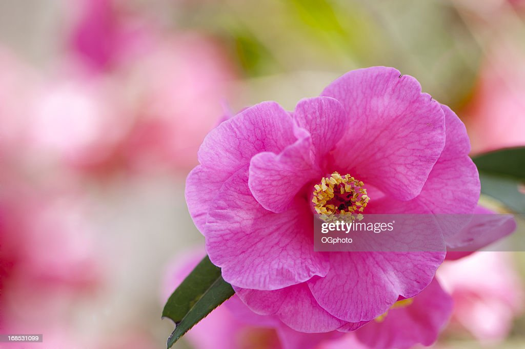 Pink camelia with colorful background : Stock Photo