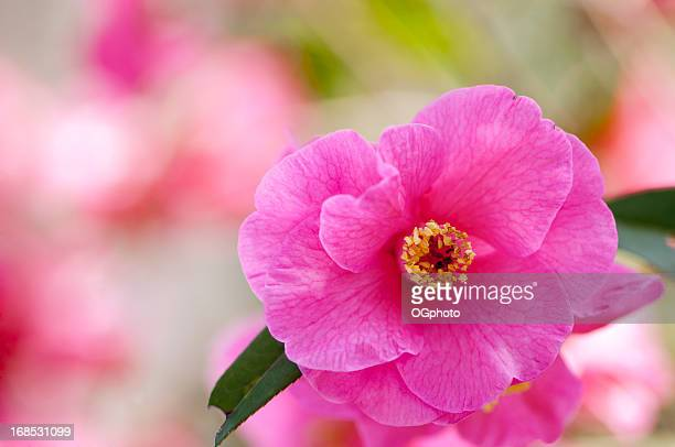 pink camelia with colorful background - ogphoto stock photos and pictures