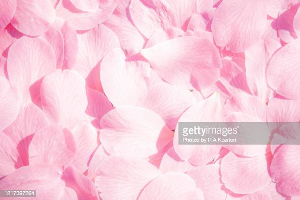 pink camellia blossom - pink colour stock pictures, royalty-free photos & images